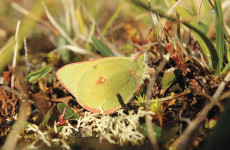 Greenland's butterflies are shrinking in the heat