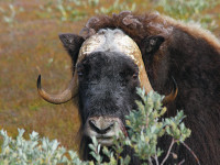 Musk-ox hunting is a Unique outdoor experience